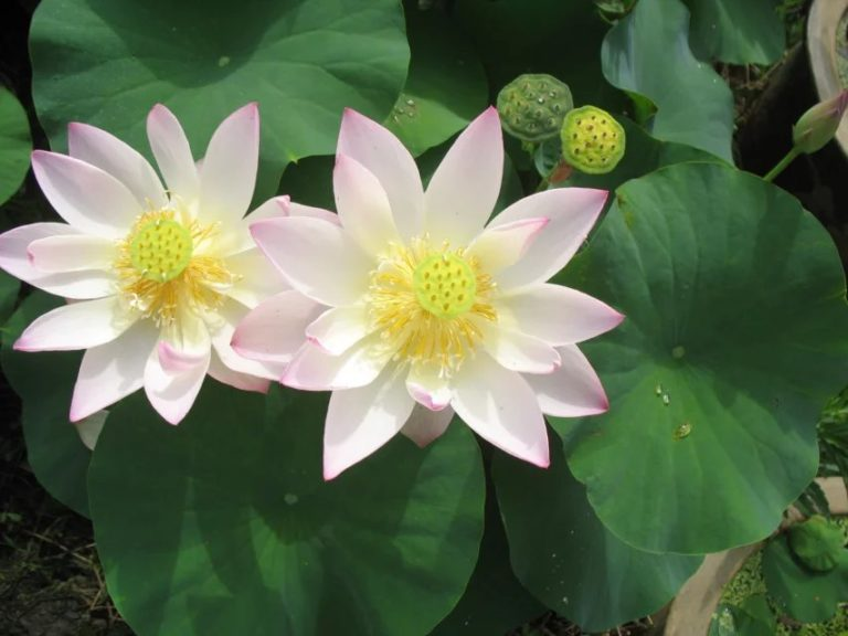 Boli Gongzhu Lotus