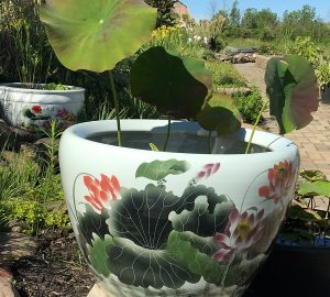 Chinese lotus Pot- New Lotus (M-6)
