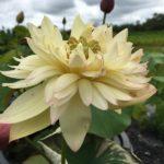 Dream of Happiness Lotus
