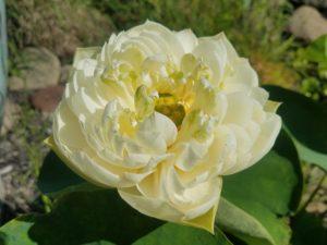 Excellent 13 Lotus