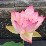Pink Hibiscus Lotus