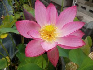 Pink Peach 14 Lotus