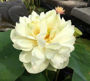 2017 Lotus Season