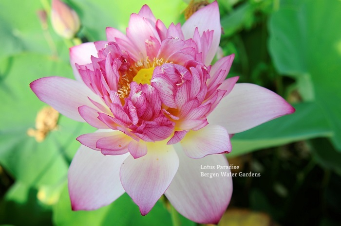 Beauty Hibiscus Lotus