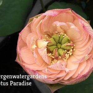 Brilliant Orange Lotus