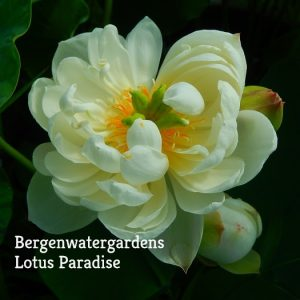 Canary Lotus