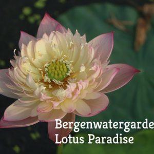 Colorful Pink Lotus