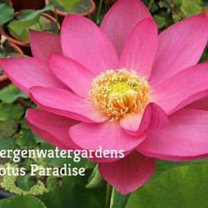 Deep Red Robe Lotus