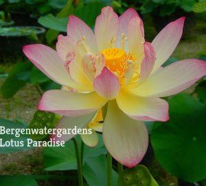 Feng Wu Lotus