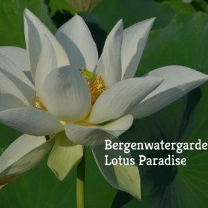 Flying Crane Lotus