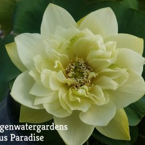 Glorious Jade Lotus