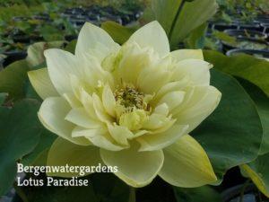 Glorious Jade Lotus