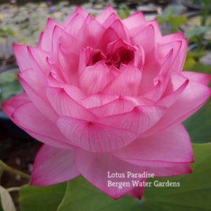 Thousand Petals of Yiliang Lotus