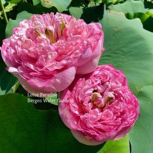 Duplicate Red Lotus
