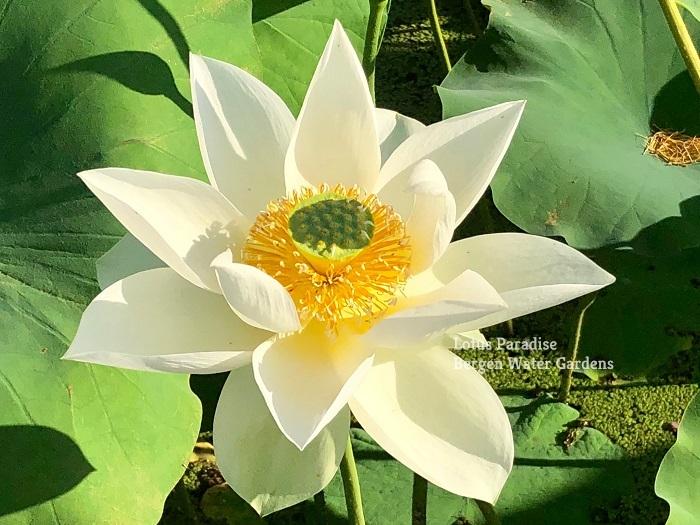 Flying Crane Lotus Bergen Water Gardens Lotus Paradise