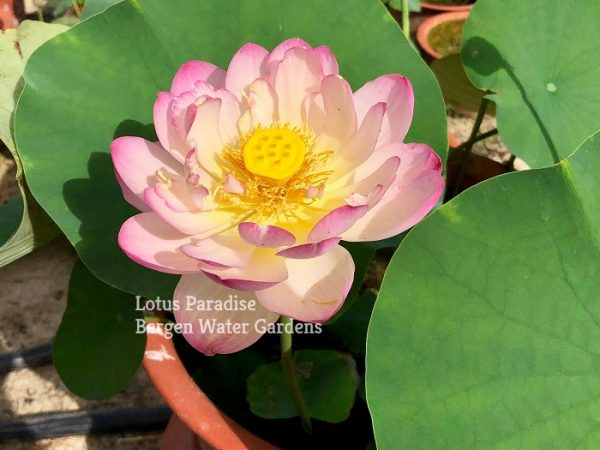 Colorful Cloud in the Sky Lotus