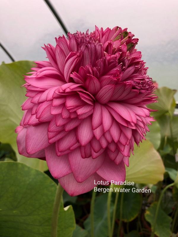 Ultimate Thousand Petals Lotus