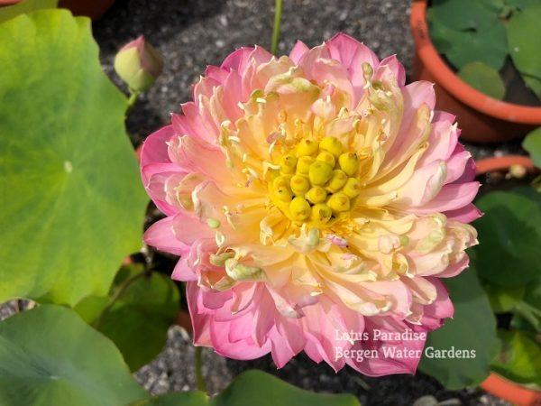 Big Dragon Ball Lotus