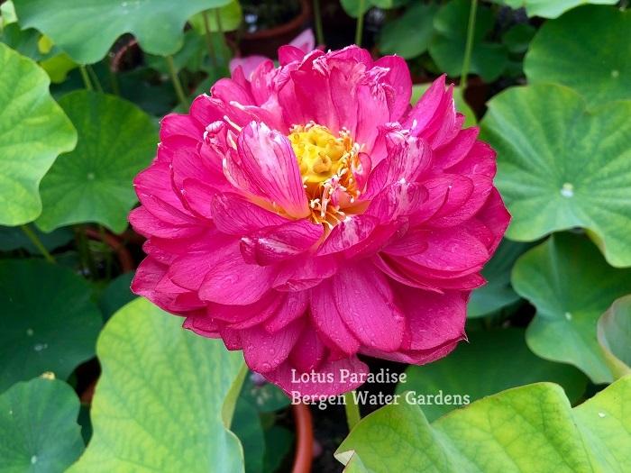Drunken Lady Lotus