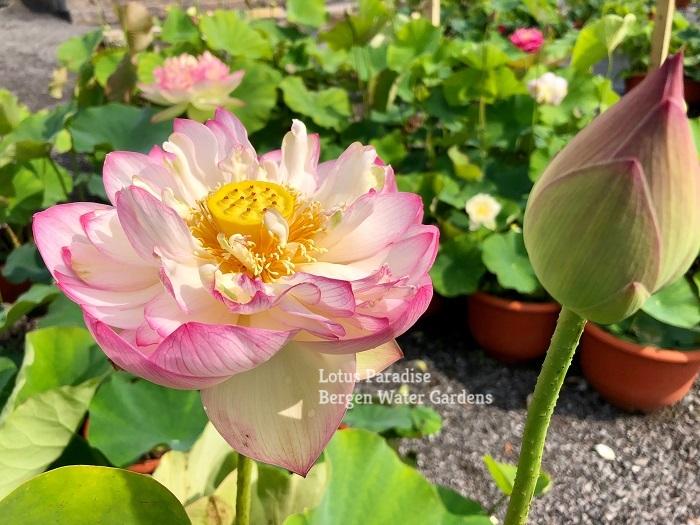 Glorious Pink Lotus
