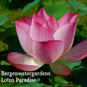 Jian Lian 35 Lotus