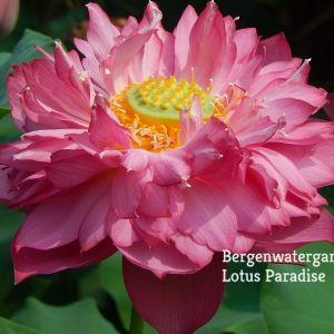 New Deepest Love Lotus