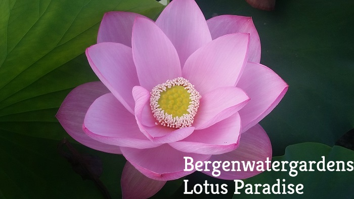 Reflection Lotus
