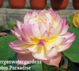 Pink Make up Lotus
