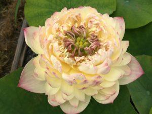 Charming Lips Lotus Lotus Paradise