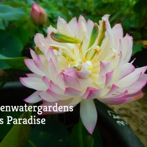 Real Super Beauty Lotus