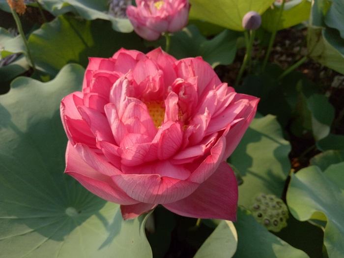 Red Sun Lotus