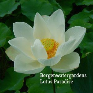 Style Lotus