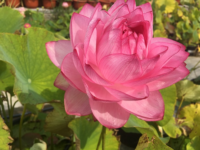 Thousand Petals in Yiliang Lotus