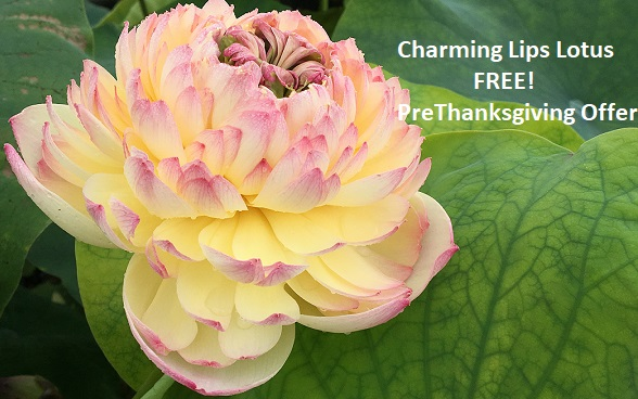 Thanksgiving Offer Free Charming Lips Lotus