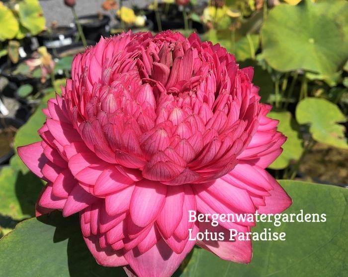 Ultimate Thousand Petals Lotus Bergen Water Gardens Lotus Paradise