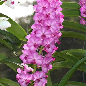 Orchid from Thailand