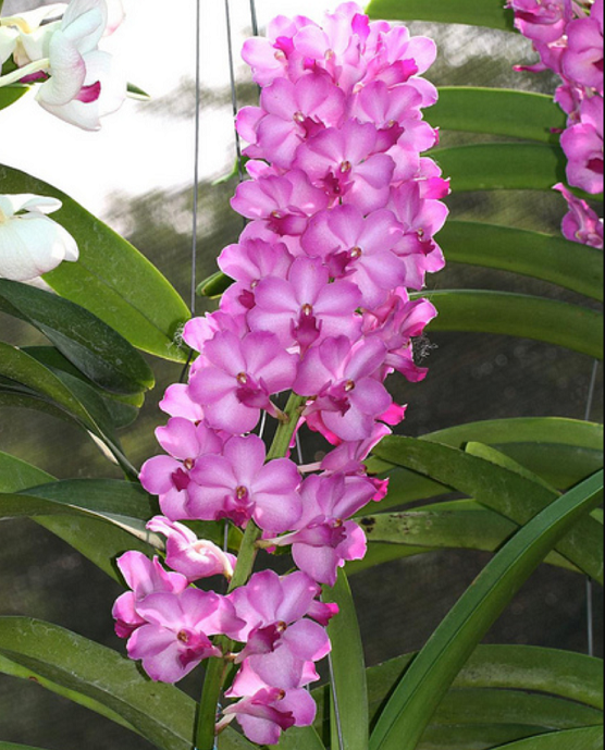 White Orchid Water Pink: Aerides Lawrenceae X Vasco. Pine River, Pink