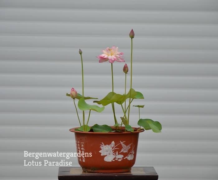 Bowl Lotus Pot With Decal Bergen Water Gardens Lotus Paradise