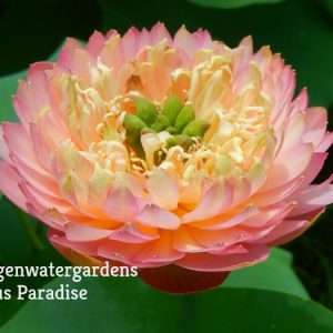 Attraction Lotus