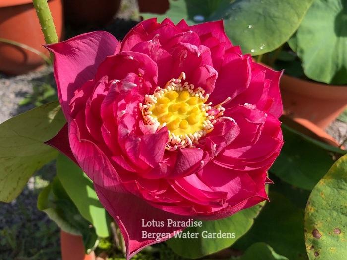 Lady Binglei LotusBinglei Lotus