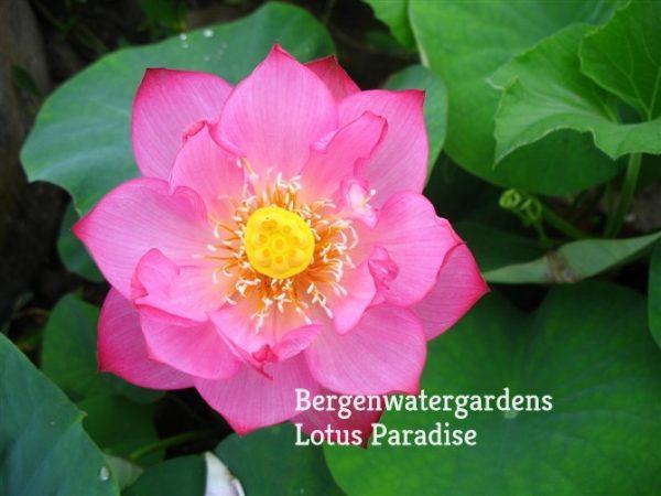 Red Carmine Lotus