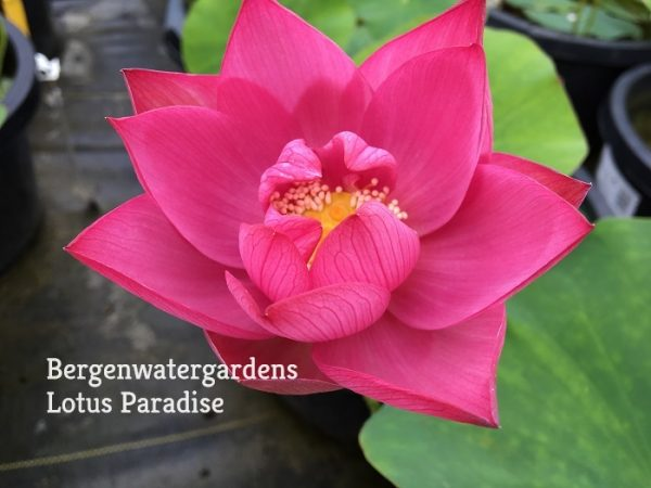 Red Day Lotus