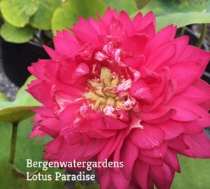 Red Silk Lotus
