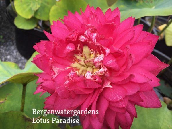 Red Silk Lotus