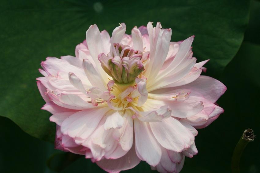 Wuhan Lotus GArden
