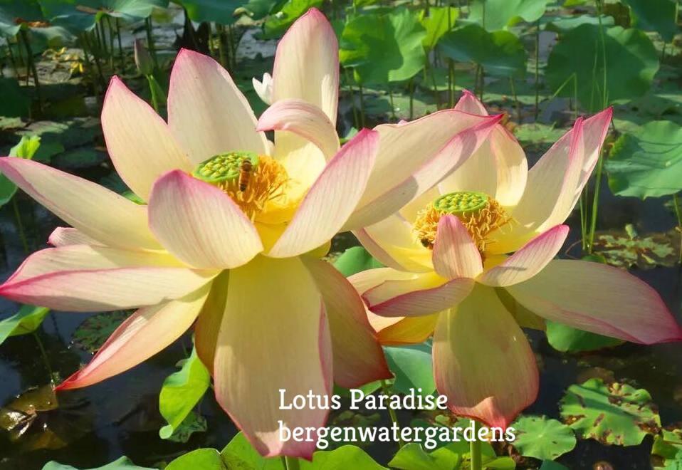 Single Colorful Brocade Lotus