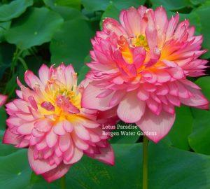 Hong He Lotus