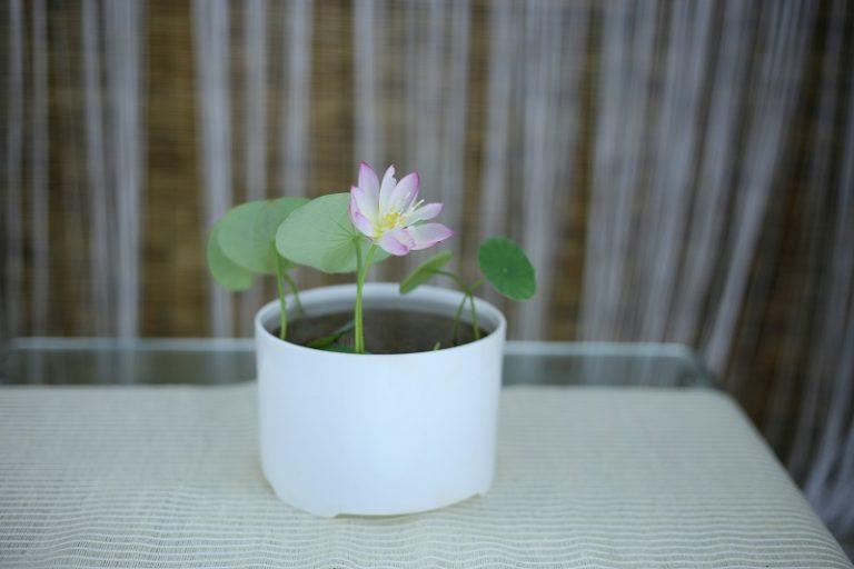 Micro Lotus Chinese Lotus Mini