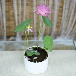 Fairy Micro Lotus