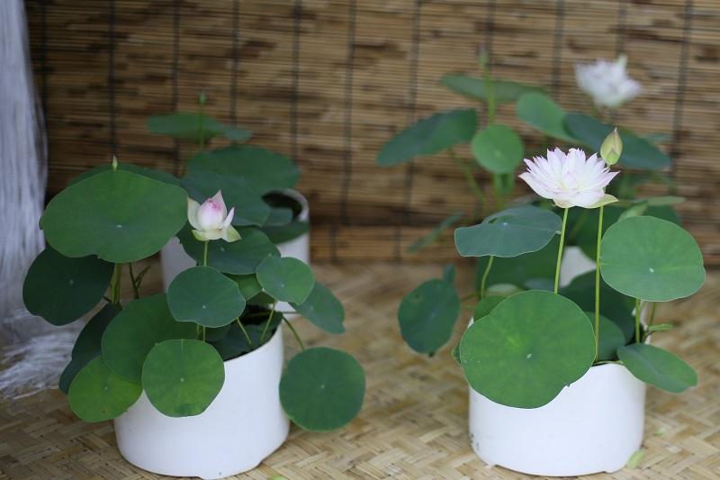 Micro Lotus Bergen Water Gardens Lotus Paradise